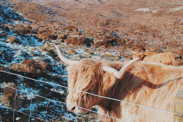 Hairy Coo Scotland